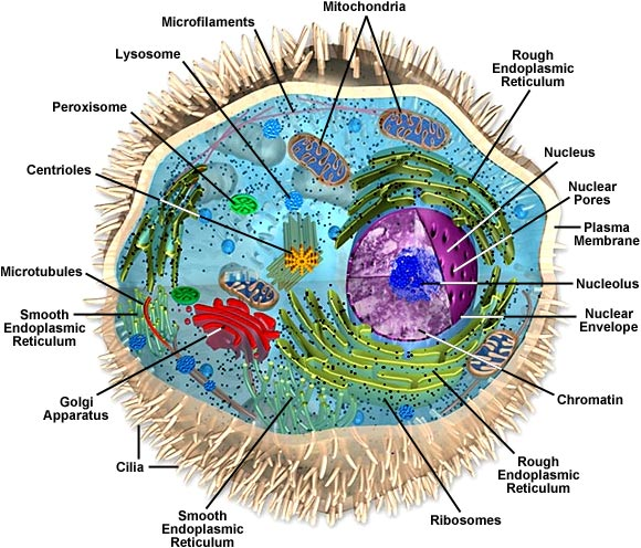 the animal cell is a typical eukaryotic cell it ranges in size between ...