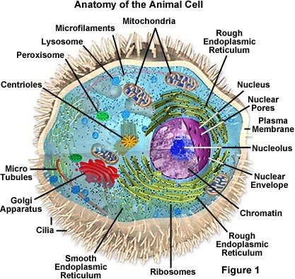 organelles in animal cell. Anatomy of the Animal Cell