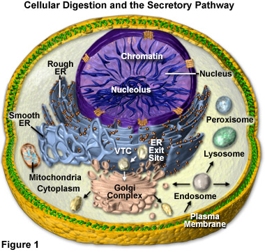 Cell Digestion and the Secretory Pathway