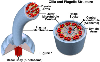 molecular expressions cell biology animal cell structure cilia  : cilia diagram - findchart.co