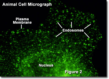 Endocytosis Micrograph