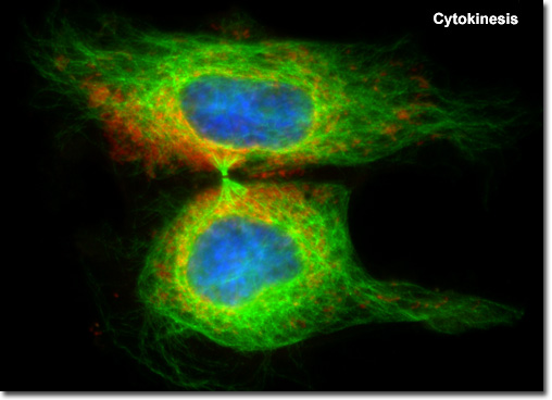 Molecular Expressions Cell Biology: Mitosis with Fluorescence ...