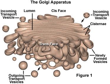 Image result for cell golgi body