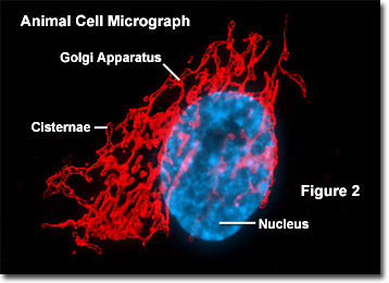 Animal Cell Golgi Apparatus