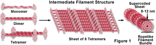 Intermediate Filament Structure