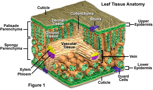 plant cell structure. The dermal tissue of a plant,