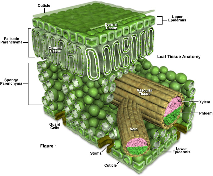 Leaf tissue organization