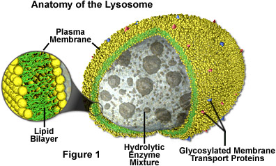 Anatomy of the Lysosome