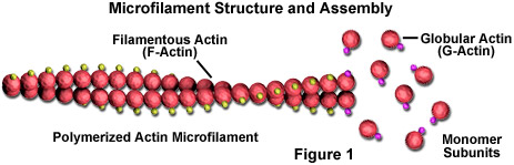 Microfilament Structural Organization