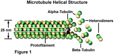 Microtubule Helical Structure