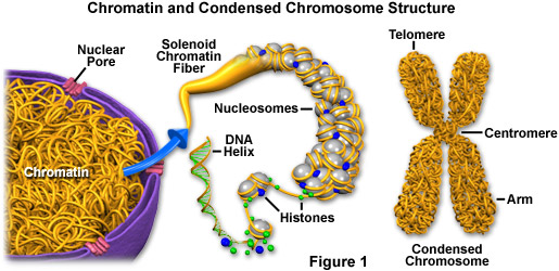 Molecular Expressions Cell Biology: Chromatin and Chromosomes