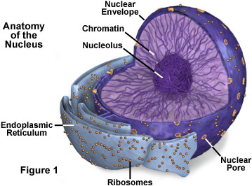 molecular expressions cell biology: the cell nucleus, Human Body