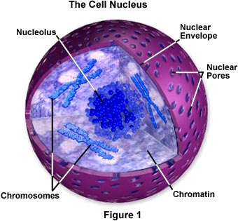 is a nucleus found in a plant cell
