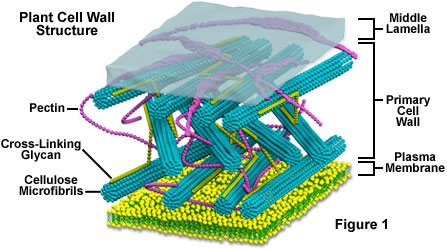 Plant Cell Wall Structure