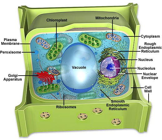 Molecular Expressions Cell Biology Cell Structure Plant Cell Model