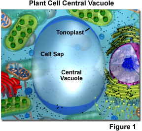 Plant Cell Vacuole  Vacuole Diagram Plant Cell