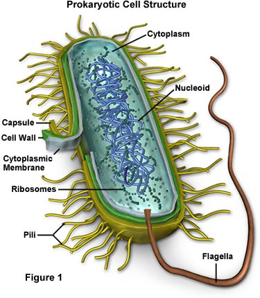 animal cells diagram. Bacteria Cell Structure
