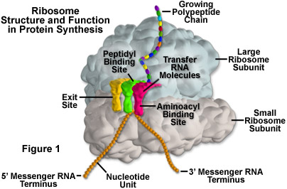 Ribosome Structure and Function