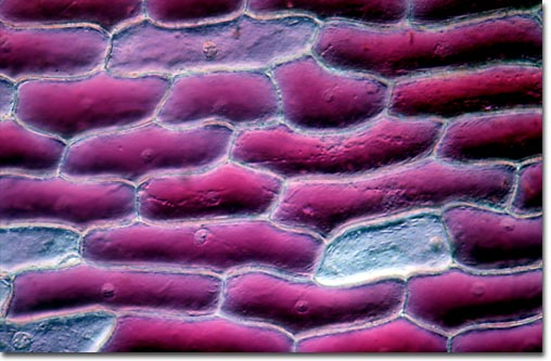 Onion scale epidermis