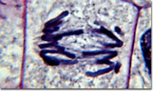 Chapitre 1 : Reproduction Conforme De LA Cellule.