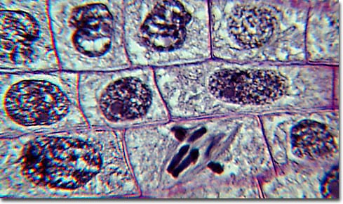 animal cell undergoing mitosis. The process in cell division