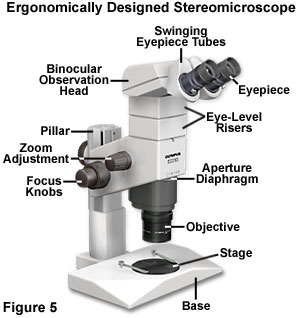 Molecular expressions microscopy primer anatomy of the microscope molecular expressions microscopy primer anatomy of the microscope introduction to microscope ergonomics ccuart Images