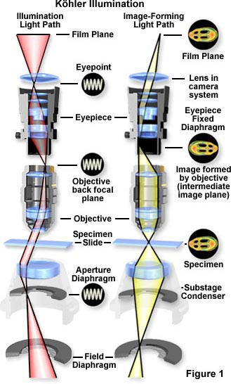 Molecular Expressions Microscopy Primer: Anatomy of the Microscope ...