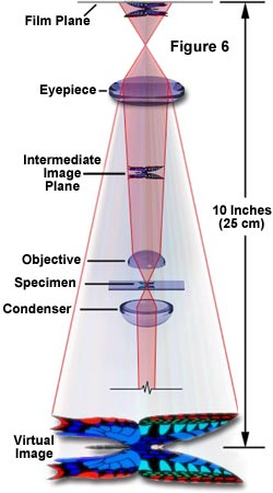 Molecular expressions microscopy primer anatomy of the microscope the eyepiece or ocular which fits into the body tube at the upper end is the farthest optical component from the specimen in modern microscopes ccuart Images