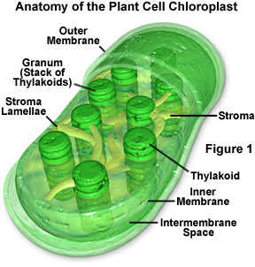 cells and photsynthesis Photosynthesis: photosynthesis, process by which green plants and certain other organisms transform light energy into chemical energy.