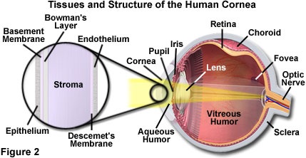 process light goes through enters eye travels brain When light enters the eye it first enters through your cornea, the transparent protective coating over your eye next it will pass through the pupil which.