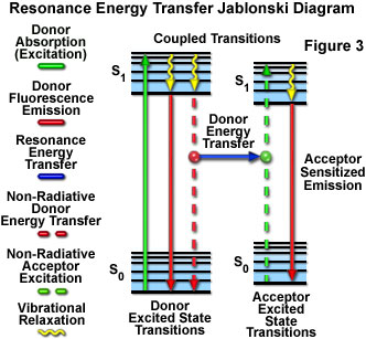 Molecular expressions microscopy primer specialized microscopy presented in figure 3 is a jablonski diagram illustrating the coupled transitions involved between the donor emission and acceptor absorbance in ccuart Gallery