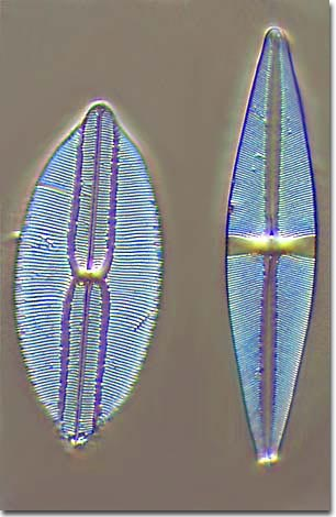 Diatom cell walls are composed of silica fashioned into a myriad of    Diatom Cell